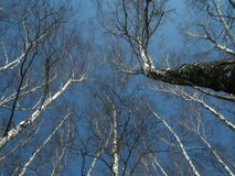 The crowns of trees on a background of blue sky. Birch trees swaying, wind. Royalty Free Stock Images