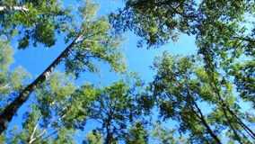 Crowns of trees and blue sky. View up to crowns of the trees and blue sky stock video footage