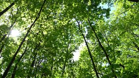 Crowns of trees with bright afternoon sun and rays. Crowns of trees with bright afternoon sun and rays stock footage