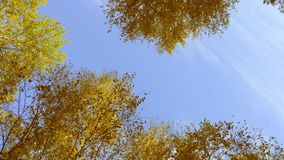 Crowns of trees with bright afternoon sun and rays. Rotation motion. Low angle shot to high trees. Autumn leaves. Yellow leaf of birch. Blue sky background stock footage