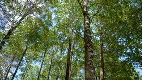 Crowns of trees in dense forest with deciduous and conifer trees
