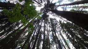 Crowns of trees in the forest stock video footage