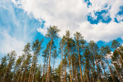 Crowns Treetops Of Tall Thin Slender Evergreen Pines Under Cloud Stock Photography