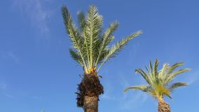 Crowns of two palm trees against blue cloudless sky. Crowns of two green palm trees waving in the wind against blue cloudless sky stock footage