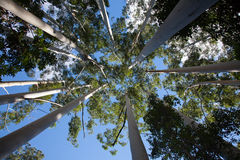 Crowns of white gum trees on Fraser Island Stock Images