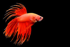 Crowntail Betta isolated on black. Beautiful color betta isolated on black Royalty Free Stock Photos