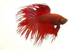 Crowntail Betta Splendens Stock Foto's