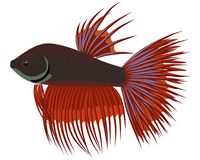 Crowntail fighting cartoon aquarium fish. Vector Royalty Free Stock Photos