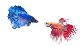Crowntail and Halfmoon stock photo