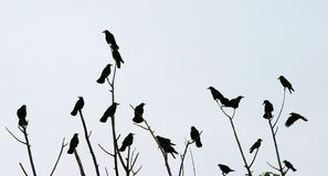 Crows. Group of crows sitting on dead tree Royalty Free Stock Photography