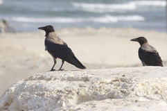 Crows. On a beach of Mediterranean Sea, Israel Stock Photos