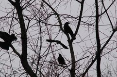 Crows. A silhouette of crows having a little meeting in the trees. Not shot in black and white, though it appears that way, there are little red berries all stock photos