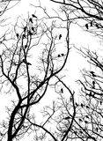 Crows (2). Crows on tree twig (grayscale isolated on white Stock Image