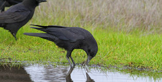 Crows. Black Raven Drinking Water From Puddle Royalty Free Stock Images