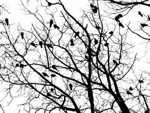 Crows (4). Crows on tree twig (grayscale isolated on white Stock Images