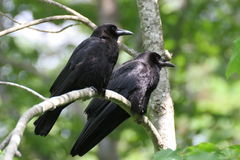 Crows Royalty Free Stock Image