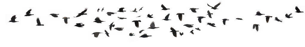 Crows And Jackdaws Stock Photo