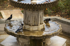 Crows. The crows bathe in the fountain in park Royalty Free Stock Photos