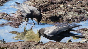 Crows beach feeding Royalty Free Stock Photos