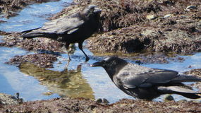 Crows beach feeding Stock Photos