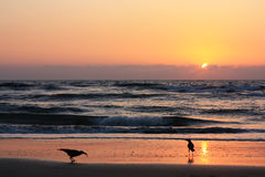 Crows on the beach at sunset. Royalty Free Stock Photography