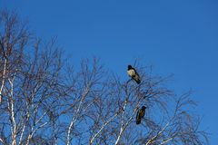 Crows on birch tree. On blue sky background royalty free stock photography