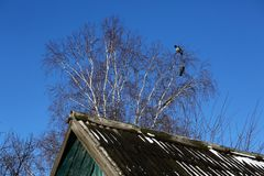 Crows on birch tree. On blue sky background royalty free stock photos