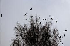 Crows. Birds, black crows turn over the sky royalty free stock photography