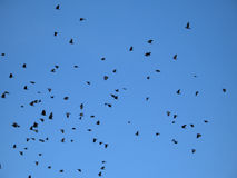 crows in the blue sky Stock Photography