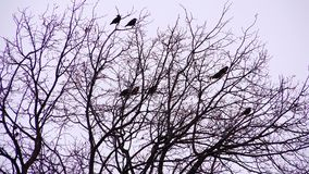 Bare trees on a cold autumn eveningcrows on the branches in the dark day. Crows on the branches in the dark day stock footage