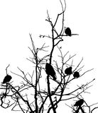 Crows on branches of tree Royalty Free Stock Image