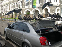 Crows on Car. A flock of crows perched on the car waiting for the owner to feed them from the gunny bag he took out from the car boot. At the background is the Royalty Free Stock Photos