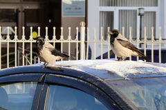 Crows on the car cover Royalty Free Stock Image