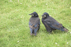 Crows Stock Image