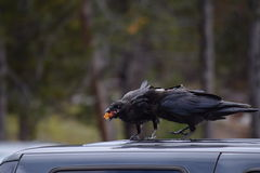 Crows competing for food. Pair of crows and a fruit pit Stock Photo