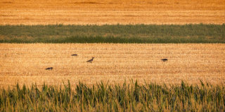 Crows and countryside Stock Image