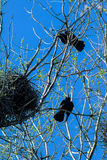 Crows and crow`s nests on trees Stock Photo
