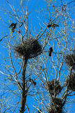 Crows and crow`s nests on trees Royalty Free Stock Images