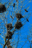 Crows and crow`s nests on trees Stock Photos