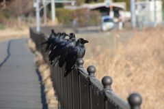 Crows. Are said to be the most intelligent among birds stock images