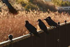 Crows. Are said to be the most intelligent among birds stock photo