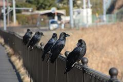 Crows. Are said to be the most intelligent among birds royalty free stock photography