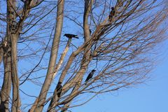 Crows. Are said to be the most intelligent among birds stock image