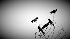 Crows in dead tree. A flock of 5 black crows perched high  in a leafless tree. Back and white image Stock Images