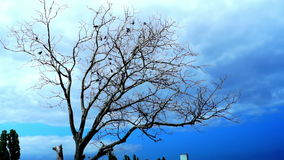 Crows In A Dry Tree On A Background Of Blue Sky. Crows In A Dry Tree. Blue Sky stock footage