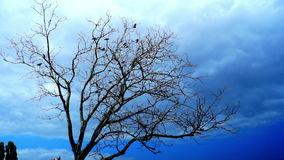 Crows In A Dry Tree On A Background Of Blue Sky. Crows In A Dry Tree. Blue Sky stock video footage