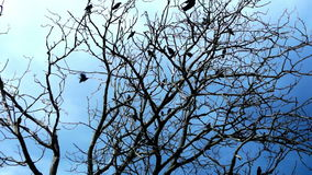 Crows In A Dry Tree On A Background Of Blue Sky stock footage