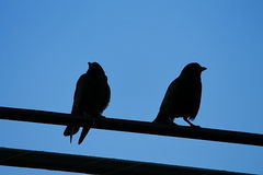 Crows on electrical wire. Two crows silhouetted in early evening Stock Images