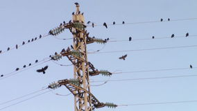 Crows on electricity pole. Flock of crows gathered on metallic high voltage electricity poles and wires stock footage