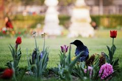 Wild dark crow in the middle of a city garden filled with flower stock photography